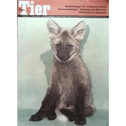 Das Tier Nr.1 / Januar 1969 - Junger Mähnenwolf
