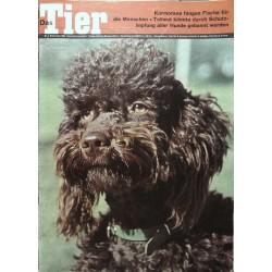Das Tier Nr.9 / September 1963 - Brauner Pudel